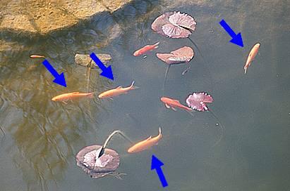 for Goldfische gartenteich winter